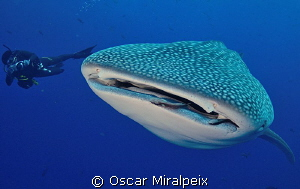 whaleshark and uwphotographer ready to take a photo by Oscar Miralpeix 
